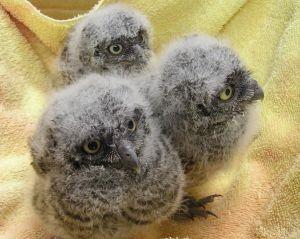 baby owls audobon