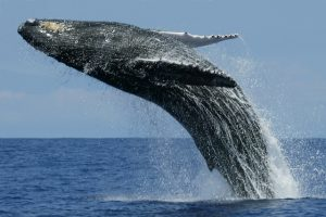 gray-whale-06